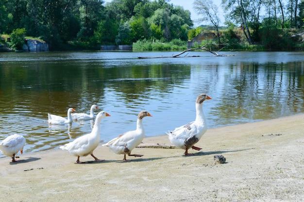 Belle oche bianche. uno stormo di uccelli sulla riva del fiume. uccelli acquatici domestici. stormo di uccelli che tornano a casa.
