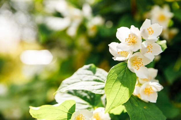 Bellissimi fiori di gelsomino bianco in fiore in primavera sfondo con cespuglio di gelsomino in fiore ispirato...