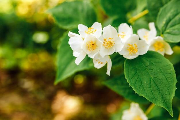 Bellissimi fiori bianchi di gelsomino in primavera. sfondo con cespuglio di gelsomino in fiore