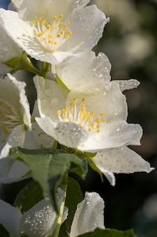Bellissimi fiori di gelsomino bianco nella stagione primaverile di fiori di gelsomino