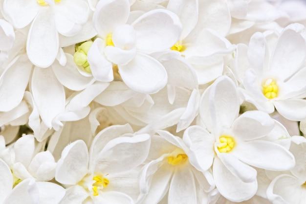 Bellissimo lilla bianco. macro.