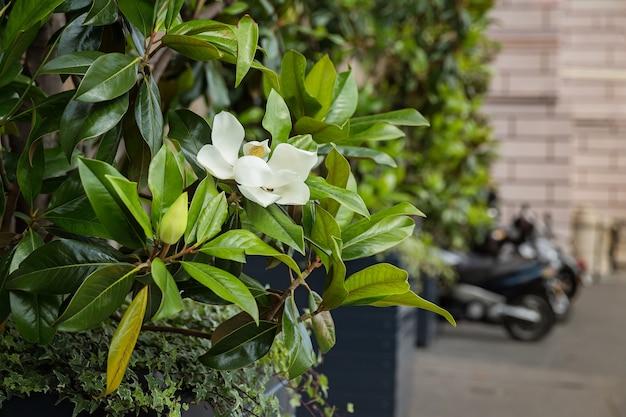 Bellissimo fiore di magnolia bianco tra le foglie verdi
