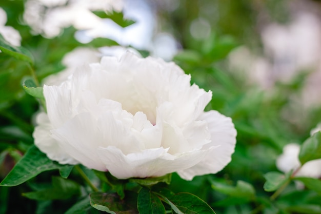 Bellissimo fiore di peonia bianca sul cespuglio in giardino in primavera primo piano sfondo estivo