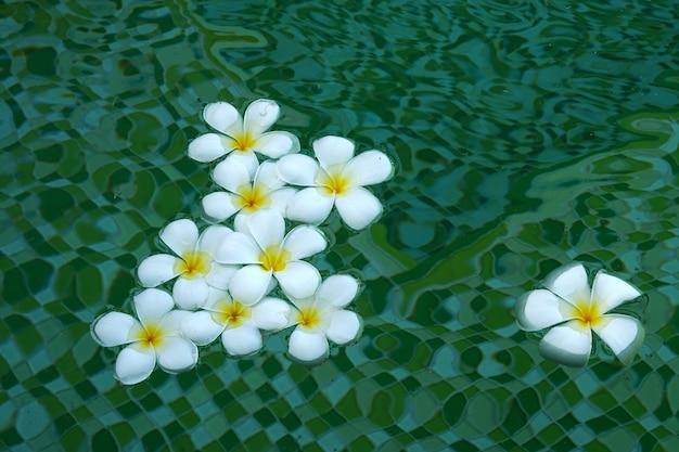Bellissimi fiori bianchi di plumeria che galleggiano nell'acqua su uno sfondo verde