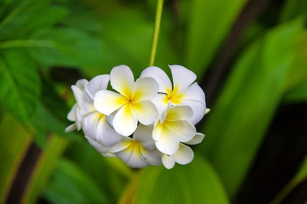 Bellissimi fiori bianchi di plumeria su un albero. messa a fuoco selettiva. natura.