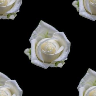 Bellissimi fiori di rosa bianca. reticolo senza giunte di fioritura delle rose. sfondo naturale floreale.