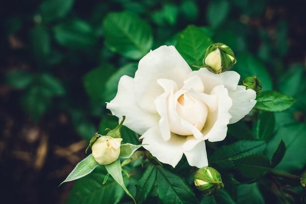 Bella rosa bianca nel giardino. vista dall'alto. immagine tonica