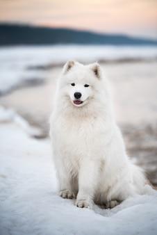 Bellissimo cane samoiedo bianco è sulla neve spiaggia di saulkrasti duna bianca in lettonia