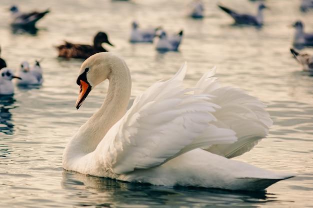 Un bellissimo cigno bianco galleggia sull'acqua di mare degli uccelli marini. svernamento sul mar nero al largo della costa di anapa