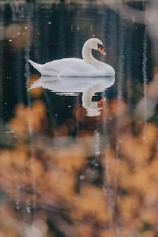 Bellissimo cigno bianco nello stagno