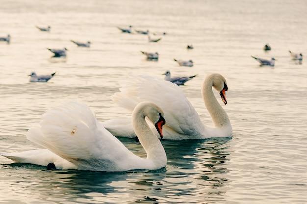 Bellissimi cigni bianchi in acqua