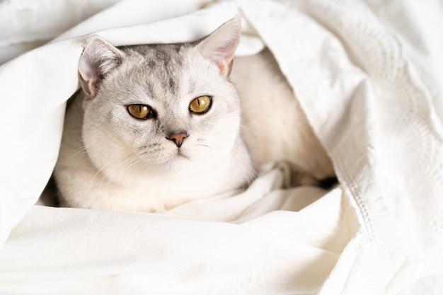 Bello gatto purosangue bianco scozzese dalle orecchie dritte in un letto bianco, animale domestico.