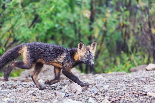 Bellissimo animale selvatico nella parte anteriore. volpe artica in alaska.