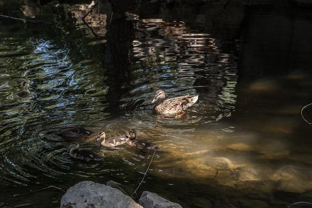 Belle anatre selvatiche con il loro giovane nuoto