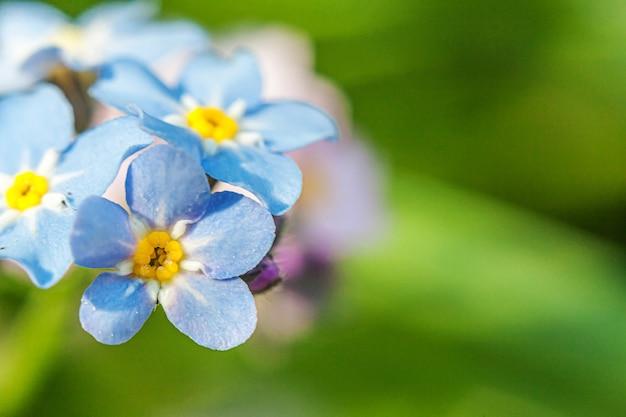 Bellissimi fiori selvatici del nontiscordardime myosotis sbocciano i fiori in primavera Foto Premium