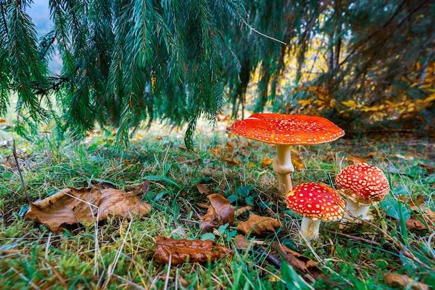 Bellissimo fungo selvatico amanita su un prato verde in una fitta foresta multicolore nelle montagne dei carpazi in autunno