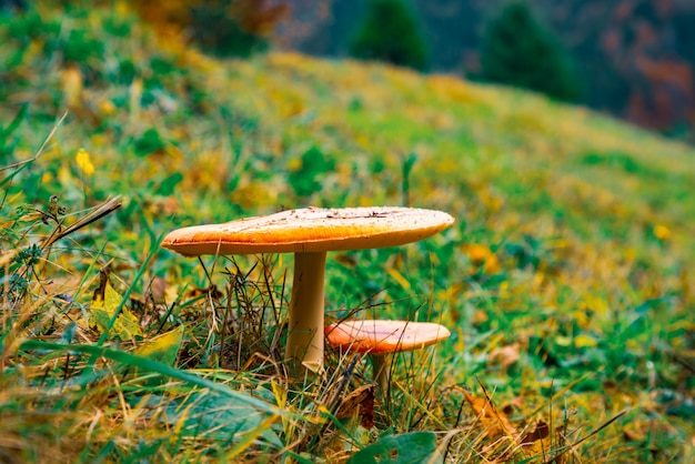 Bellissimi funghi selvatici su un prato verde in una fitta foresta multicolore nelle montagne dei carpazi in autunno