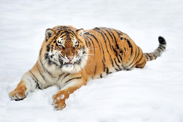 Bella tigre siberiana selvaggia sulla neve