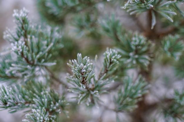 Bellissimo sfondo invernale, ramo brina