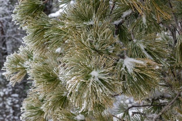 Bellissimo ramo di conifere invernale coperto di brina e neve