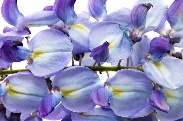 Bellissimi fiori di glicine isolati.su sfondo bianco.