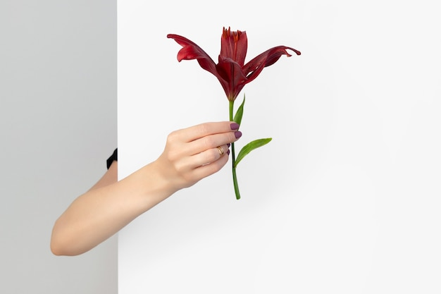 La bella mano della donna con il manicure che tiene il fiore del giglio bordeaux