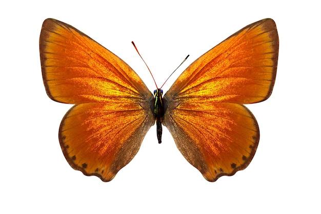 Bella farfalla gialla. razza lycaenavirgaureae. isolato su sfondo bianco