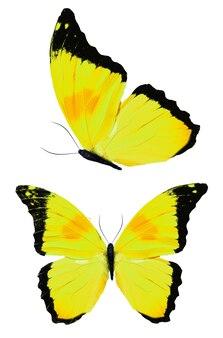 Bella farfalla gialla isolata su priorità bassa bianca