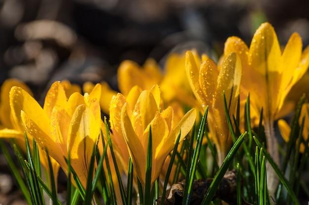 Bei fiori gialli del croco sulla radura