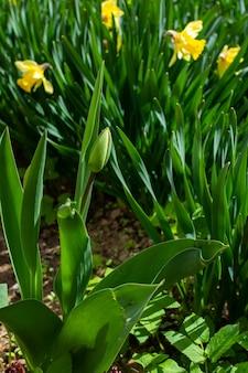 Bellissimi narcisi gialli in primavera nel giardino, giovane bocciolo di tulipano non soffiato