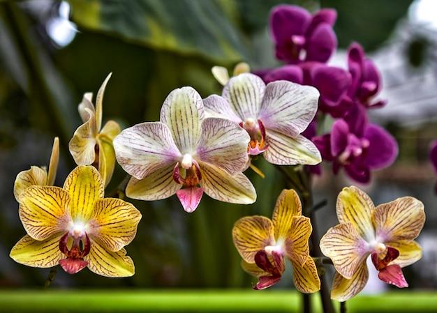 Bellissimi fiori gialli di orchidea phalaenopsis con sfondo naturale.