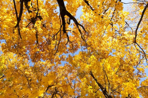 Il bel fogliame giallo sulla chioma degli alberi nella stagione autunnale ondeggia dal vento caldo e soleggiato