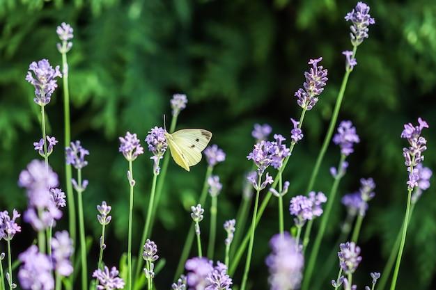 Bellissimo gopteryx rhamni giallo o comune farfalla di zolfo su un fiore di lavanda viola