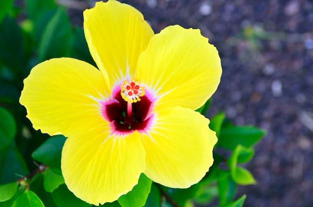 Bello fiore giallo dell'ibisco in un giardino