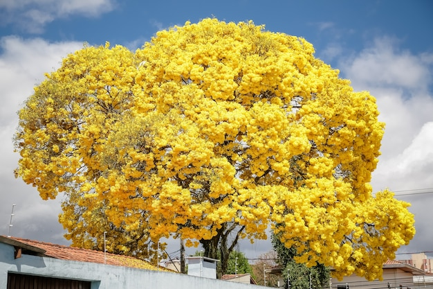 Bellissimo albero di ipe giallo nell'inverno brasiliano