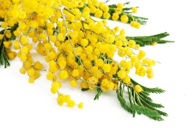 Bellissimi fiori gialli di mimosa isolati su bianco, primo piano