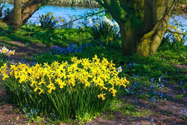 Bellissimo narciso giallo nel parco di primavera