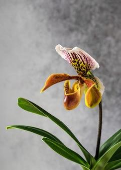 Bello fiore giallo dell'orchidea su gray