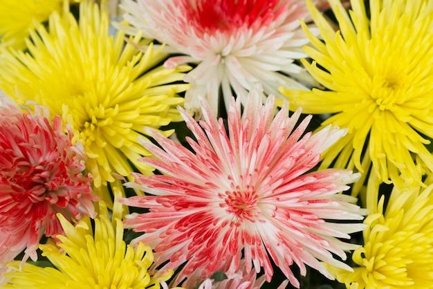 Bei crisantemi gialli e rossi. sfondo di fiori