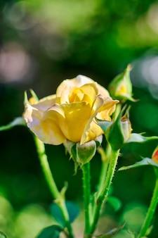 Bella rosa gialla in giardino.