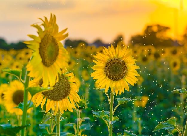 Bel giallo girasole sotto la pioggia estiva, giornata di sole.