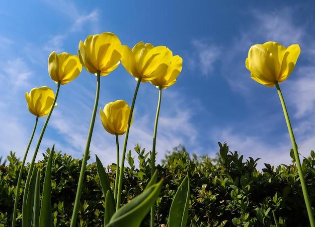 Bellissimi tulipani gialli in primavera contro il cielo blu con nuvole sullo sfondo floreale