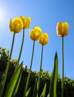 Bellissimi tulipani gialli in primavera contro il cielo blu