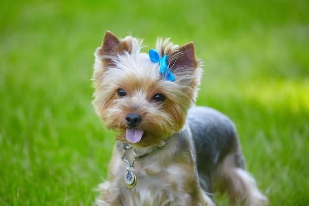 Bellissimo cane yorkshire terrier sull'erba verde.