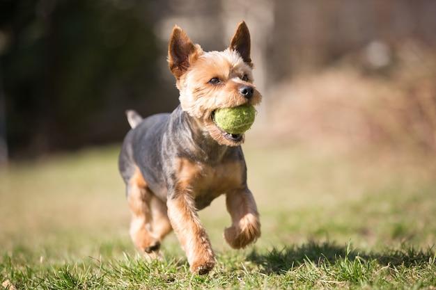 Bello yorkshire terrier che gioca con una palla su un'erba