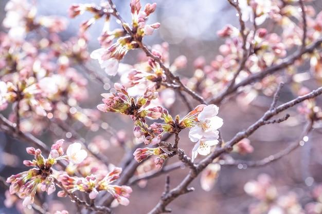I bei fiori di ciliegio yoshino sakura fioriscono in primavera.