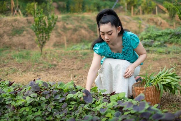 Bella giovane giardiniere donna asiatica con un cesto di verdure appena raccolte di spinaci nei giardini, donne nel suo orto, verdura amaranto rosso il nome scientifico: amaranto tricolore
