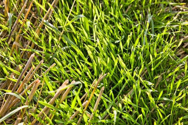 Bello giovane grano verde sulle vecchie stoppie rimanenti, nel primo piano di fine estate sul campo agricolo