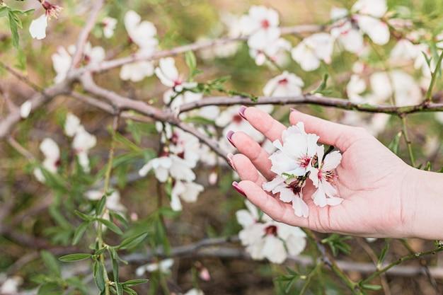 La bella giovane donna passa la tenuta dei fiori della mandorla nell'albero con fondo verde delle foglie e dei rami in primavera