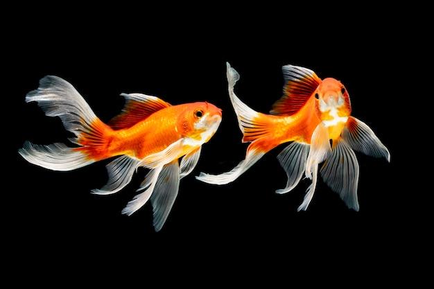 Pesce di bellezza che nuota sott'acqua su sfondo nero